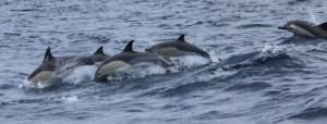 Common Dolphins playing off the Azores