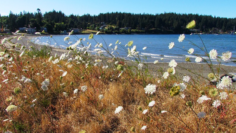 Image of Queen Anne's lace along a shoreline with breaking waves.