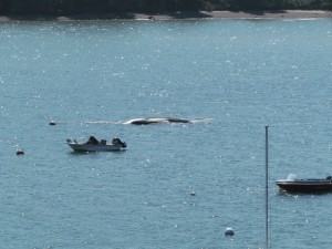 After the fuel is removed, the capsized vessel floats a little higher and looks even more like a dead whale.
