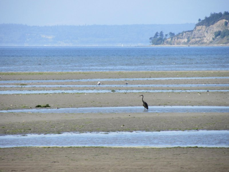 great blue heron fishing at Useless Bay, Whidbey Island, Candace Allen