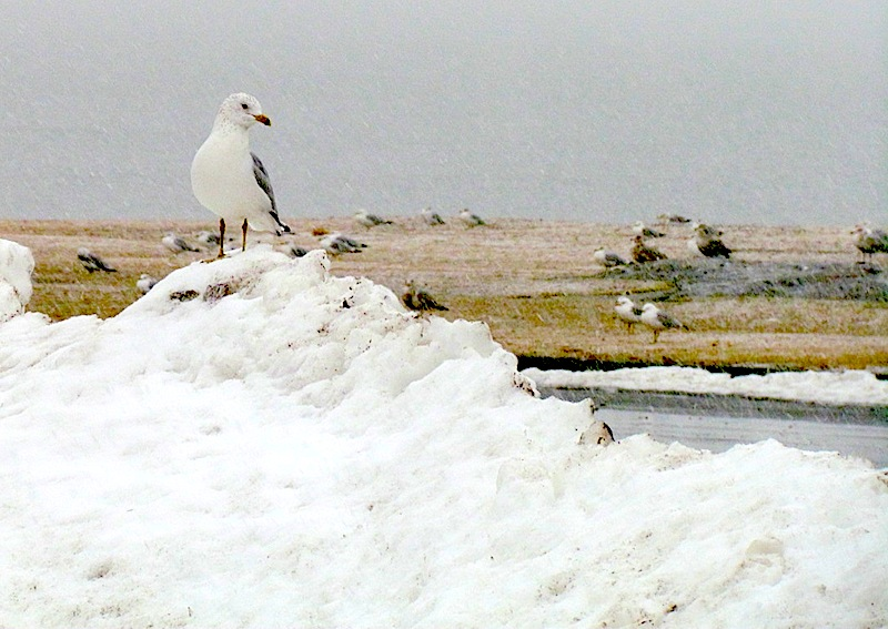seagull on snow pile