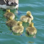 fluffy yellow goslings folow their mother