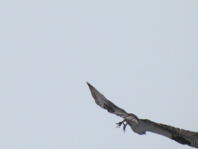 osprey flying away