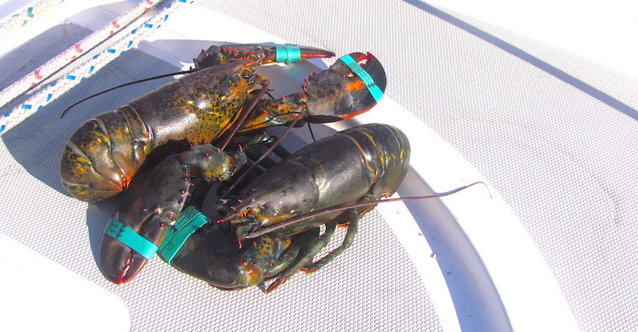 Image of lobsters on boat deck planning food on a boat