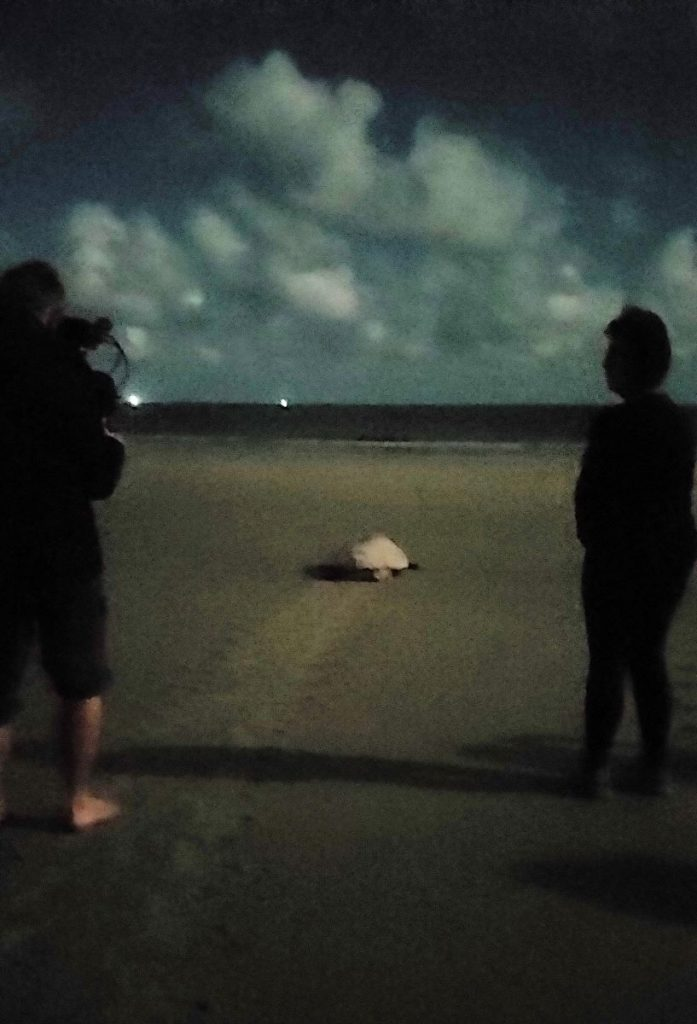 Mama sea turtle heads  back to the ocean after laying eggs at Hunting Island State Park