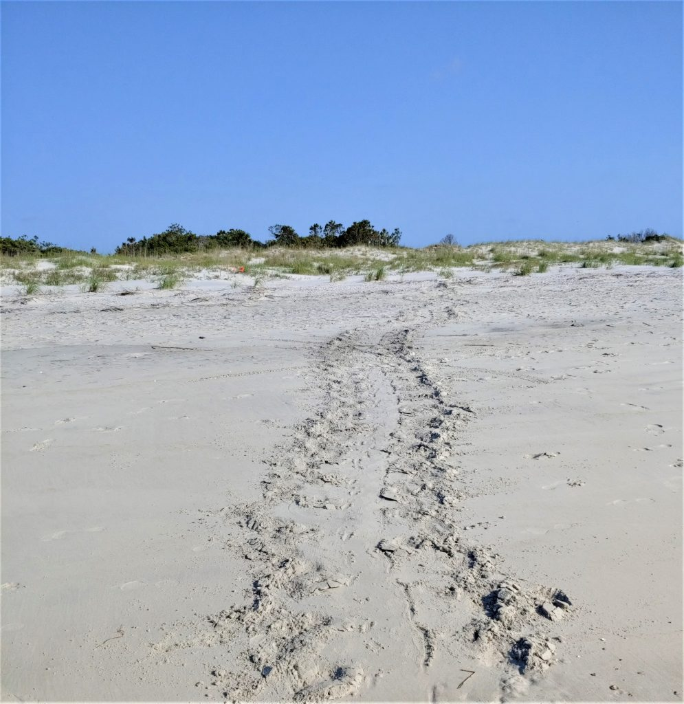 Sea Turtle nesting track through the sand at Hunting Island State Park